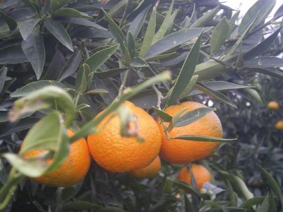 mandarins-on-the-tree